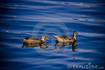 Two ducks floating on blue water surface