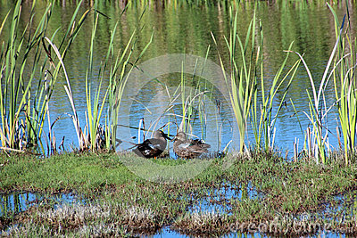 Two Ducks in Marshy Wetlands