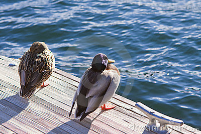Two Ducks on Pier