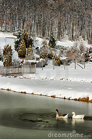 Free Two Ducks Swimming In A Frozen Lake Royalty Free Stock Photo - 30272115