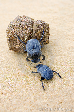 Free Two Dung Beetles Battling With A Large Dung Ball Stock Photo - 674150