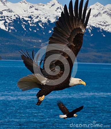Free Two Eagles In Flight Royalty Free Stock Images - 90966319