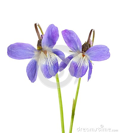 Free Two Early Spring Flowers Viola Odorata Isolated On White Background. Shallow Depth Of Field. Selective Focus Stock Image - 111424311
