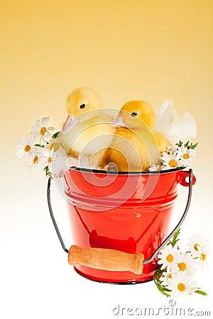 Two easter ducklings in a bucket