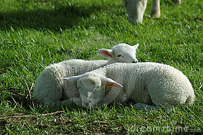 Two Lambs Sleeping in the Grass