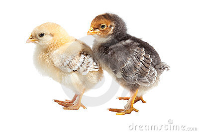 Two easter puffy chickens one on isolated white
