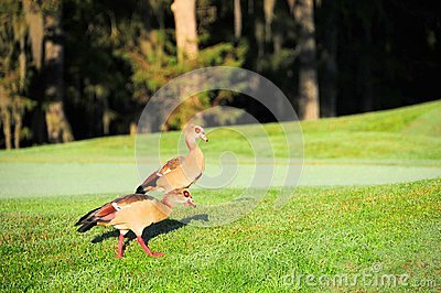 Two Egyptian geese walking