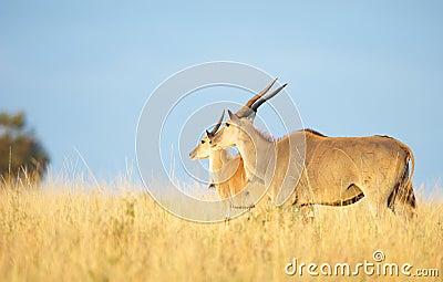 Two Eland (Taurotragus oryx)