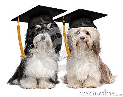 Two eminent graduation havanese dogs wit cap