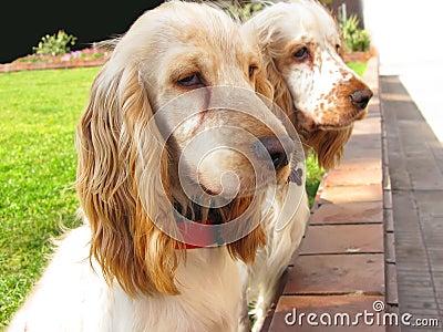 Two English Cocker Spaniel puppies
