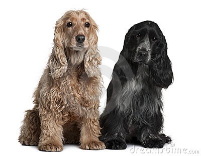 Two English Cocker Spaniels, sitting