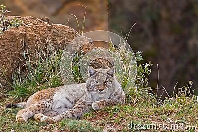 Two eurasian lynxes
