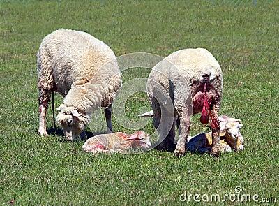 Feeding Newborn Lambs Milk Stock Photos, Images, & Pictures - 24 ...