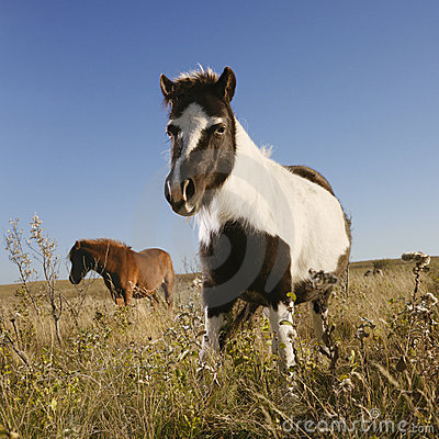 Two Falabella miniature horses
