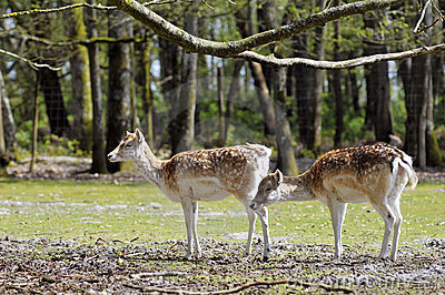 Two fallow deer in forest