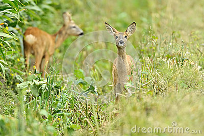 Two fawn deer