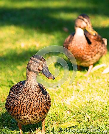 Two female mallards on a lawn