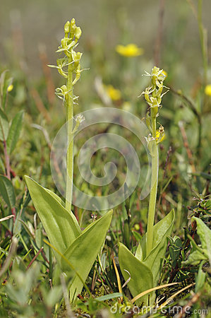 Two Fen Orchids