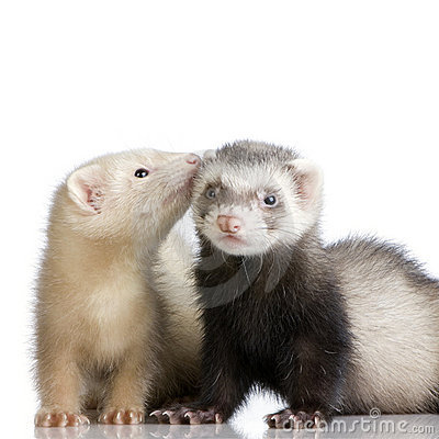 Free Two Ferrets Kits (10 Weeks) Stock Photo - 2525410