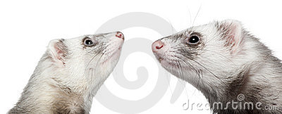 Two ferrets looking at each other, 1 year old