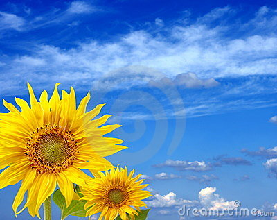 Two fine sunflowers against the blue sky