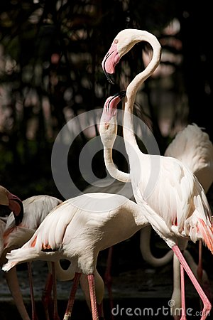 Two flamingoes communicating