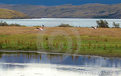 Two flamingoes in Torres del Paine