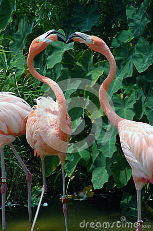 Free Two Flamingos Engaged In A Kiss Stock Photos - 25630073