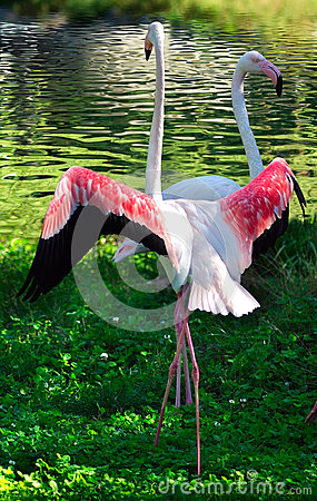 Two flamingos on the grass