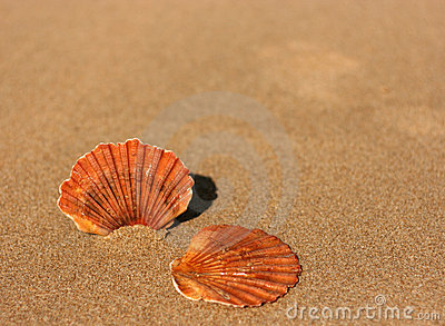 Two flat sea shells on the sand