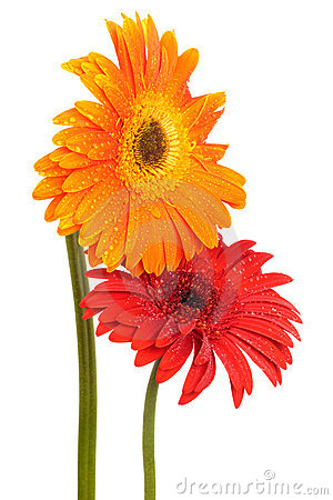http://thumbs.dreamstime.com/x/two-flowers-9133059.jpg