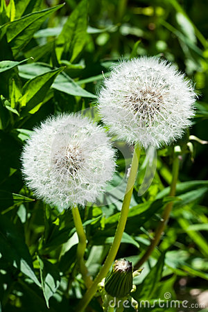 Two fluffy dandelions