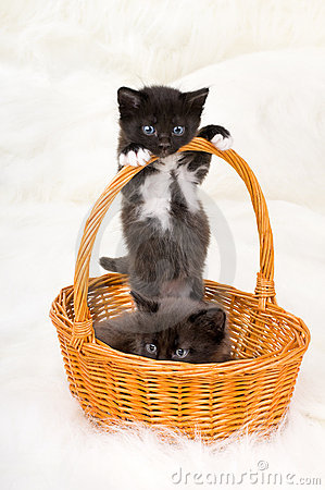 Free Two Fluffy Little Kittens Royalty Free Stock Photos - 14883228