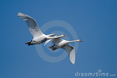 Two flying swans