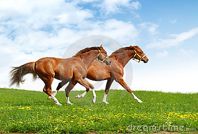 Two foals gallop
