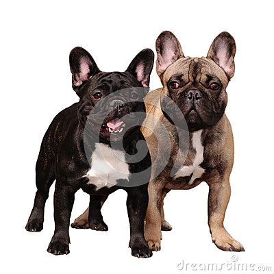 Two franch bulldogs isolated on white