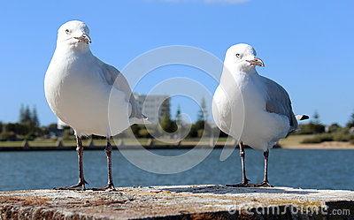Two friendly white seagulls standing on a brick pillar by the estuary