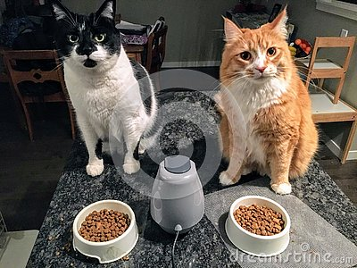 Two full grown cats, one an orange and white long haired maine coone and ragdoll mix, the other a large white and black tabby cat Stock Photo