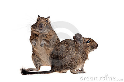 Two funny degu