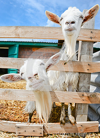 Free Two Funny Goats On Farm Stock Image - 59042611