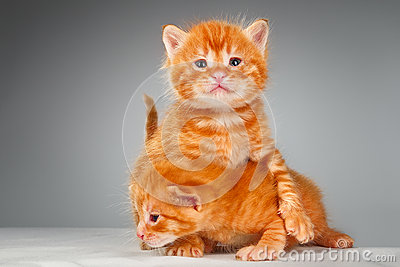 Two funny little red hair kittens