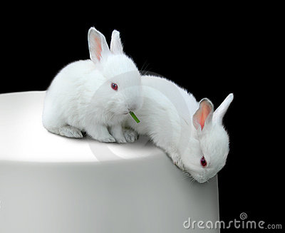 Two funny white little rabbits on a table