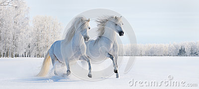 Two galloping white ponies