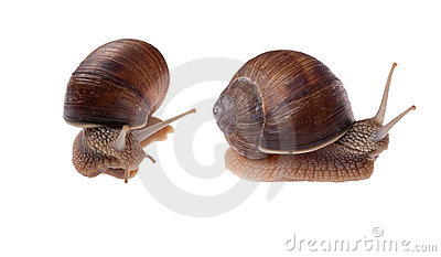 Two Garden Snails Isolated on White.