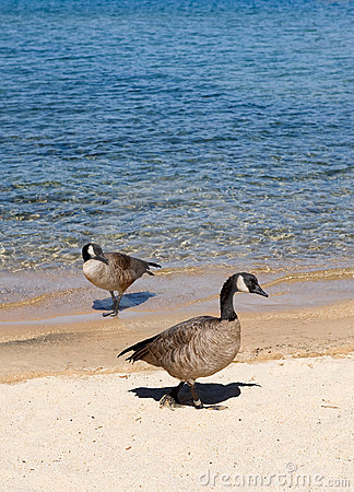 Two geese by shore of lake