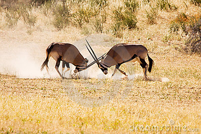 Two Gemsbok antelope males fighting