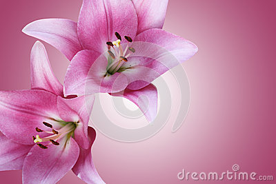 Two gentle pink lilies