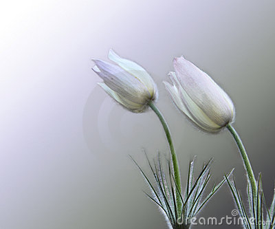 Two gentle snowdrops