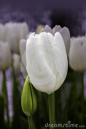Two gentle white tulip flowers leaning on each other