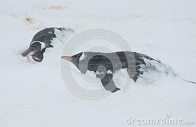 Two Gentoo penguin in a blizzard.